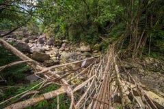Живущий мост корней около деревни Nongriat, Cherrapunjee, Meghalaya, Индии стоковая фотография