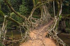 Живущий мост корней около деревни Riwai, Cherrapunjee, Meghalaya, Индии стоковое фото