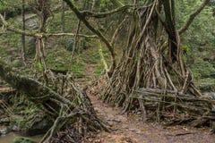 Живущий мост корней около деревни Riwai, Cherrapunjee, Meghalaya, Индии стоковые фото