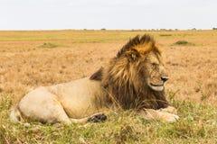 Живущий сфинкс Африканский лев отдыхая на холме Кения стоковая фотография rf