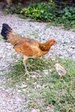 Живущий цыпленок курицы поднимая в естественном Стоковые Изображения