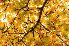 Живые желтые подсвеченные листья на дереве в осени Стоковые Фото