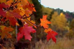 Живые красные и оранжевые кленовые листы падения стоковые фотографии rf