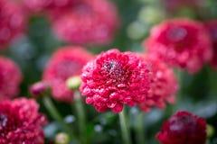 Живые красные цветки среди темных ых-зелен листьев стоковое изображение