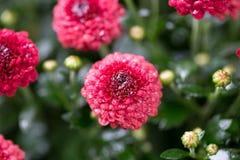 Живые красные цветки среди темных ых-зелен листьев стоковая фотография rf