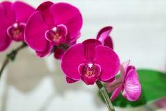 Живые орхидеи мадженты на дисплее стоковое изображение rf