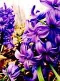 Живые фиолетовые цветки Стоковое фото RF