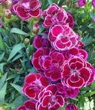 Живые цветки гвоздики в magenta цветах Стоковая Фотография