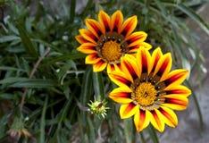 2 живые цветки маргаритки апельсина и желтого цвета Стоковые Фото