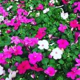 Живые цветки пинка и белых стоковое фото rf