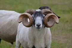 Живые Horned овцы на ферме в Ирландии Стоковое Фото
