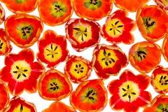 Живые variegated оранжевые и желтые тюльпаны весны Стоковое фото RF