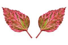 2 живых листь осени изолированного на белизне Стоковое фото RF