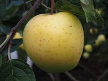 Жидкостные яблоки на дереве В осени, богатый сбор яблок в саде детали стоковое изображение rf