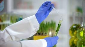Жидкость ассистента лаборатории капая в трубке с заводом, органической выдержкой косметологии стоковые изображения