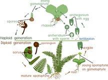Жизненный цикл папоротника Жизненный цикл жизни растений с перемежением диплоидных sporophytic и haploid gametophytic участков Стоковое Фото
