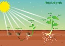 Жизненный цикл жизни растений Стоковое Фото