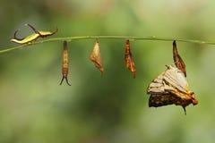 Жизненный цикл общей бабочки thyodamas Cyrestis карты от ca стоковое фото