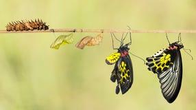 Жизненный цикл общей birdwing бабочки Стоковые Фото