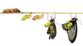 Жизненный цикл Isoalted общей birdwing бабочки Стоковое Фото