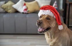 Жизнерадостная шляпа рождества labrador нося Стоковая Фотография