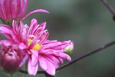 Жизнерадостная яркая розовая маргаритка против старой ржавой загородки стоковое изображение rf