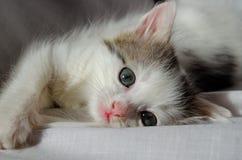 Жизнерадостное котенка милые маленькое белое серое и капризный стоковое изображение