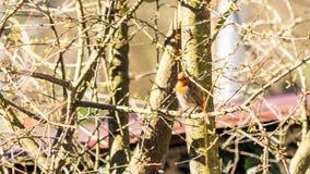 Жизнерадостное rubecula Erithacus Робин европейца Весна в Сочи E стоковые фотографии rf