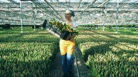 Жизнерадостный работник парника держит корзину с тюльпанами, идя внутри помещения сток-видео