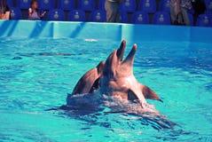 2 жизнерадостных жизнерадостных дельфина в чистом прозрачном бассейне на предпосылке visual Стоковые Изображения RF