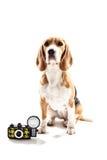Жизнерадостный щенок бигля как профессиональный фотограф стоковое фото rf