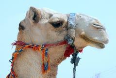 Жизни верблюда в зоопарке Стоковые Изображения RF