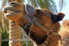 Жизни верблюда в зоопарке Стоковые Изображения