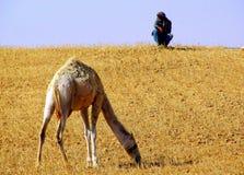 Жизни верблюда в зоопарке Стоковая Фотография