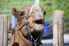 Жизни верблюда в зоопарке Стоковая Фотография RF