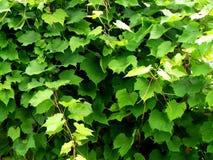 Жизни виноградины Стоковые Изображения RF