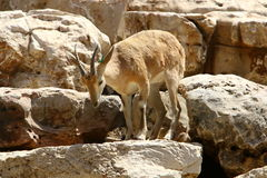 Жизни козы в зоопарке Стоковая Фотография
