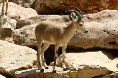Жизни козы в зоопарке Стоковое Изображение