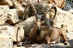 Жизни козы в зоопарке Стоковые Изображения