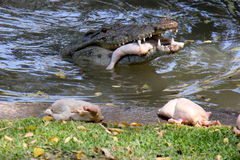 Жизни крокодила в питомнике Стоковые Изображения