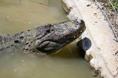 Жизни крокодила в питомнике Стоковая Фотография