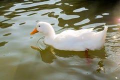 Жизни утки в окружающей среде Стоковое фото RF