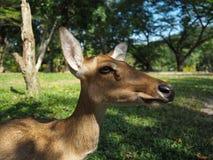 Жизнь антилопы Стоковые Фото