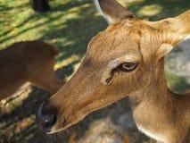 Жизнь антилопы Стоковая Фотография