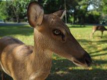 Жизнь антилопы Стоковое Изображение RF