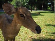 Жизнь антилопы Стоковые Изображения RF