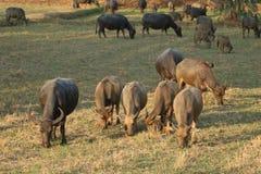 Жизнь буйвола Стоковое фото RF
