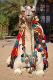 жизнь верблюда Стоковое Фото