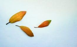 1 жизнь все еще листья желтого цвета рододендрона на белой ткани Конец-вверх Взгляд сверху Стоковое Изображение RF