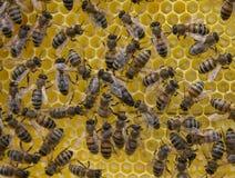 Жизнь и воспроизводство пчел Королева пчел и пчелы Стоковое фото RF